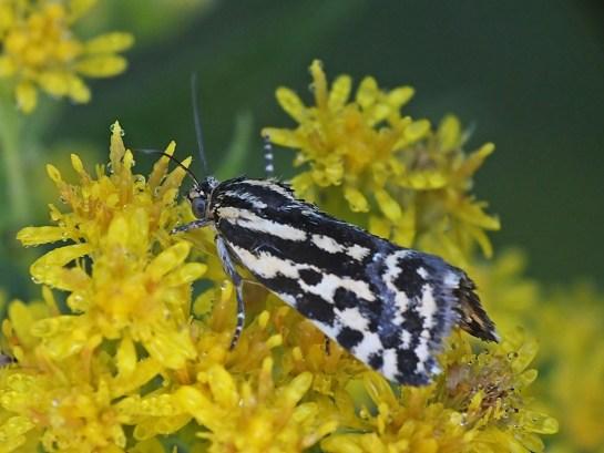 A.trabealis