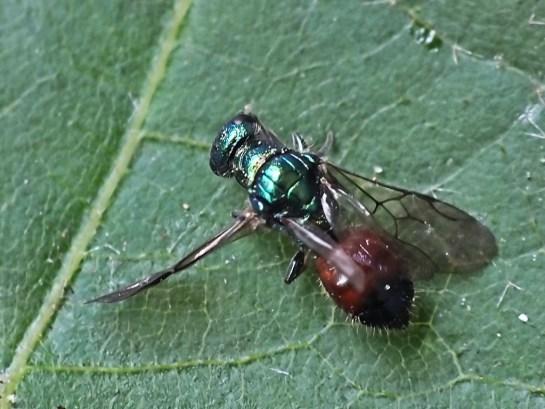 C.semicyaneus