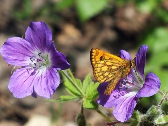 C.silvicola