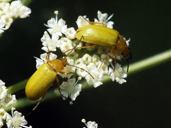 C.sulphureus