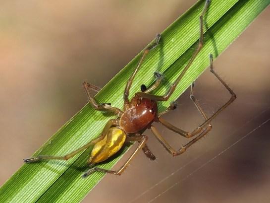 C. erraticum