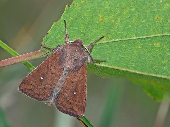 M.albipuncta