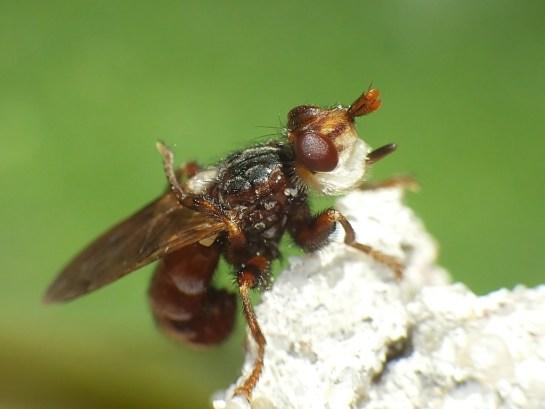 M.pellucida