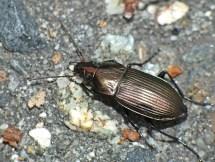 P.versicolor