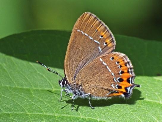 S.pruni