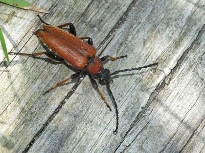 S.rubra female