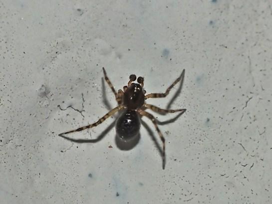 t-mystaceum-male