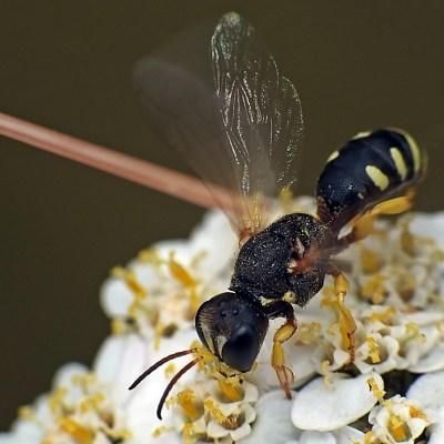 Lestica alata (Crabronidae)