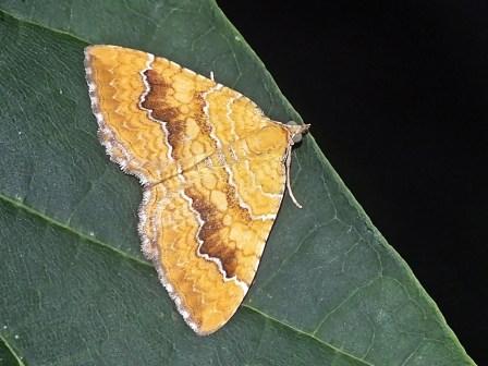 C.bilineata
