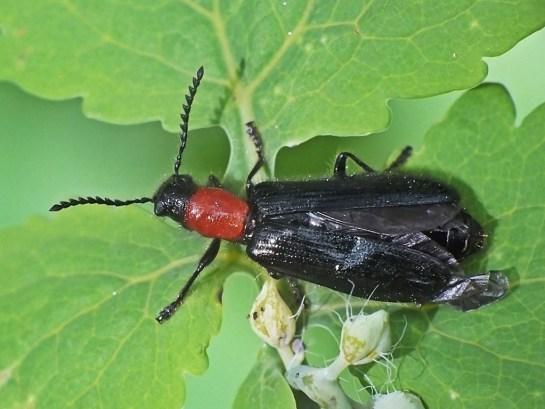 T.elongatus
