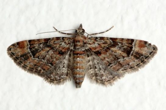 Gymn. rufifasciata