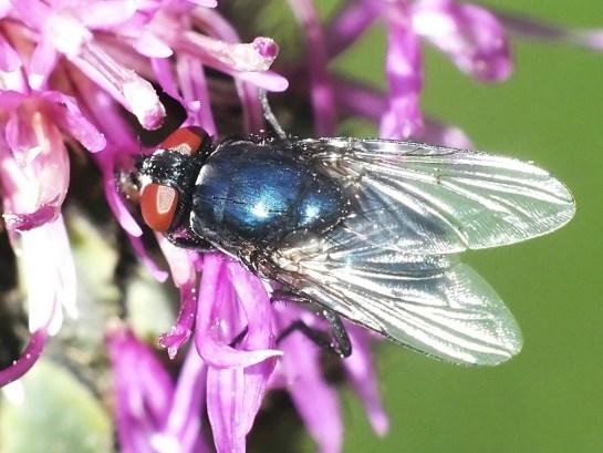 E.cyanicolor