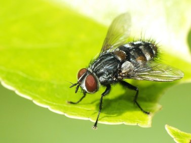 W.quadripustulata