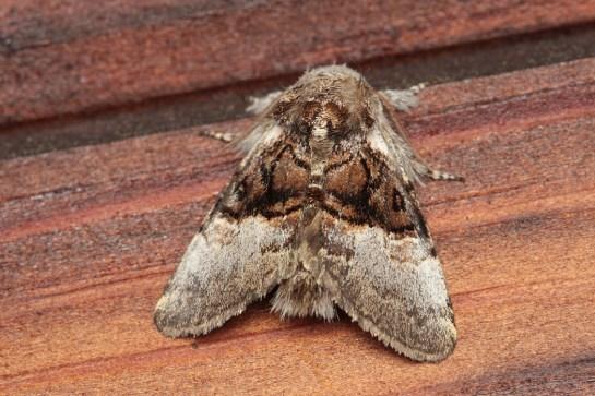 C.coryli