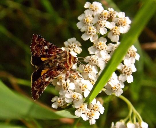A.myrtilli