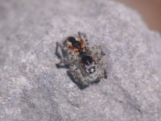 P. chrysops