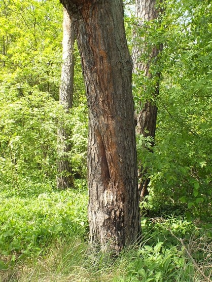 psilota-tree