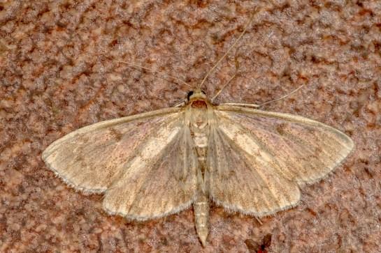 A.perlucida