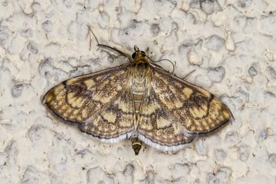 A.verbascalis