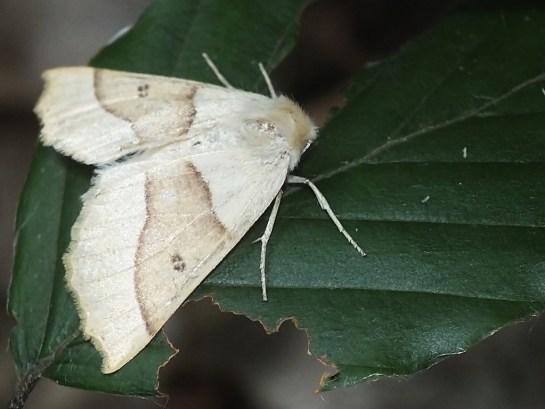 C.elinguaria