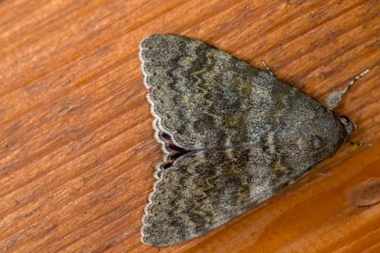 C.elocata