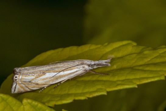 C.lathoniellus.