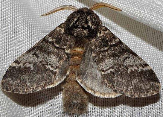 D.ruficornis