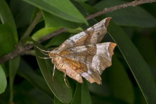 S.tetralunaria
