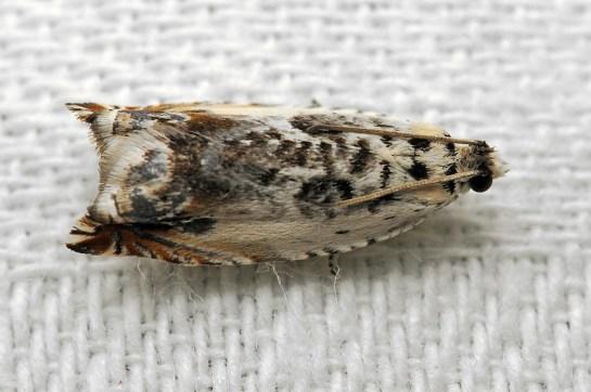 A.laetana