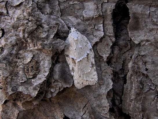 A.logiana