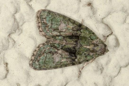 C.algae