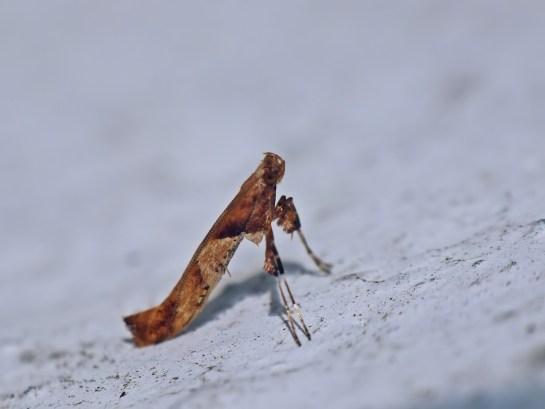 C.hemidactylella