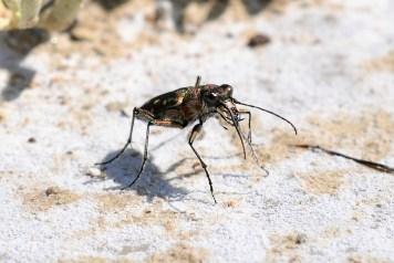 C.littoralis nemoralis