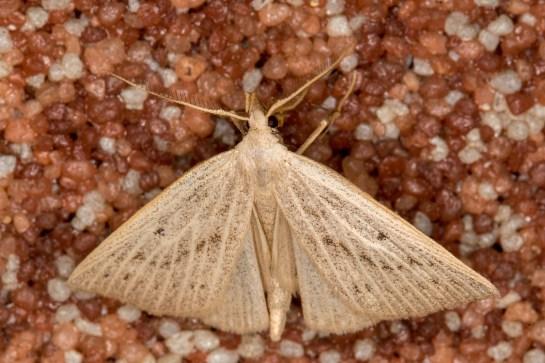M.cribrumalis