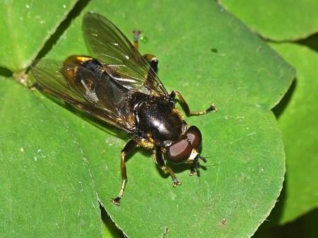 X.sylvarum