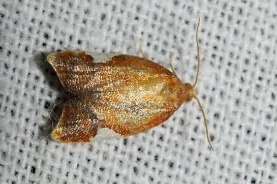 A.holmiana