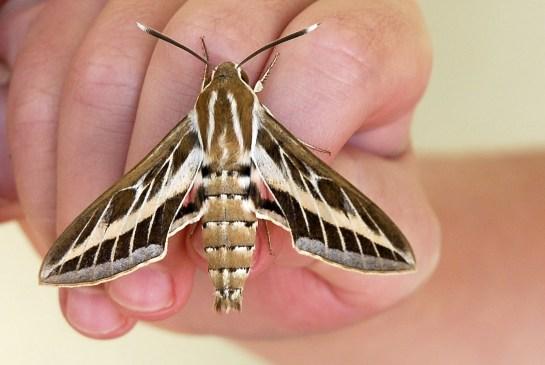 H.livornica