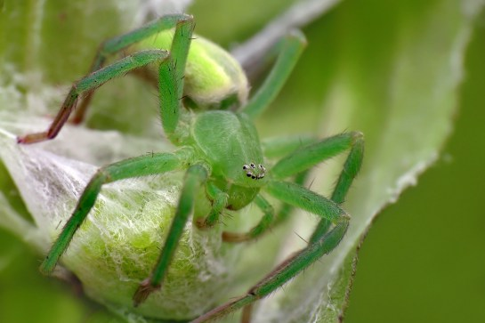 M.virescens female