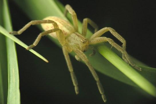 M.virescens