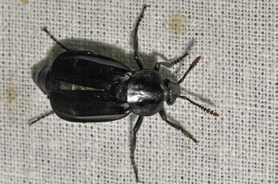 N.littoralis