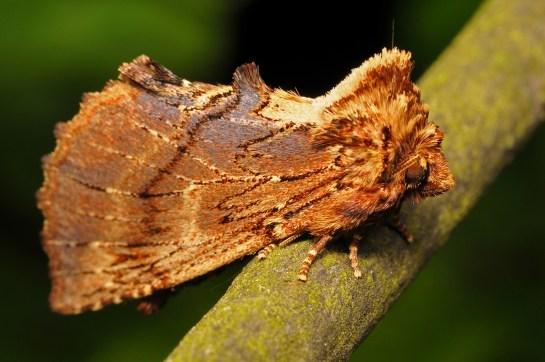 P.capucina