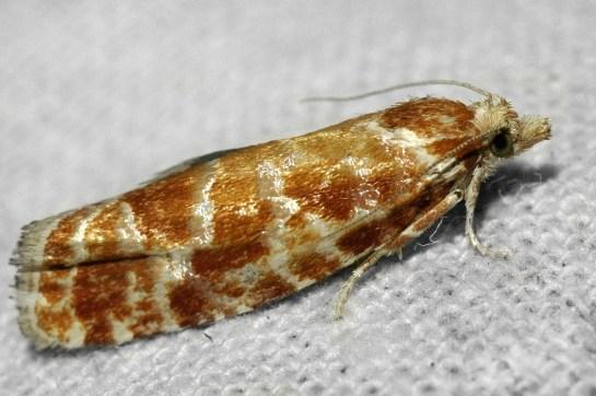 R.pinicolana