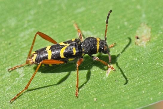 C.arietis