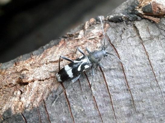 C.figuratus