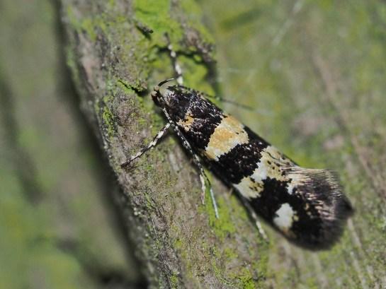 D. albimaculea