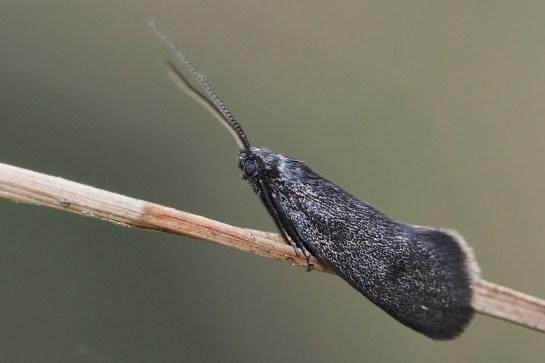 L.maurella.