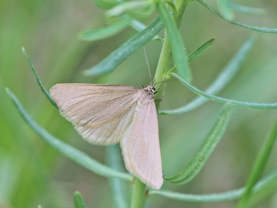 M.murinata