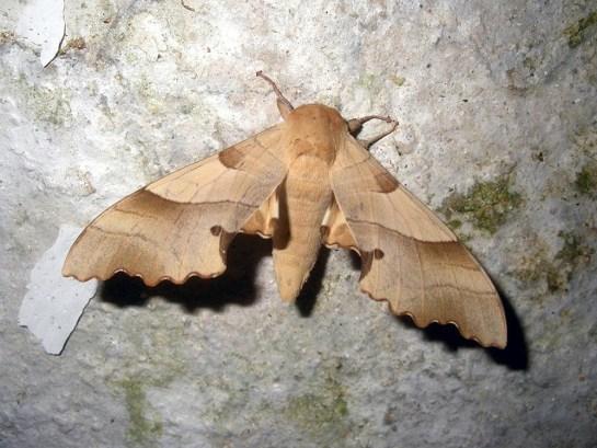 M.quercus