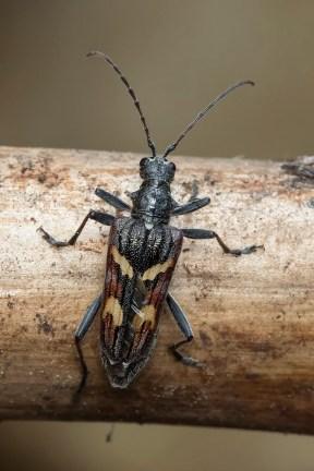 R.bifasciatum