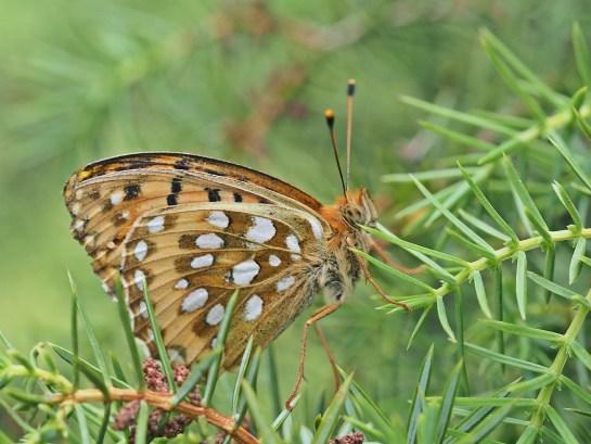 A.aglaja
